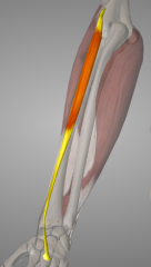 o: lateral epicondyle of humerus(via common extensor tendon) i: 3rd metacarpal a: extends and abducts hand at wrist
