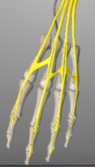 o: lateral epicondyle (~CET) i: extensor expansion of 2-5 a: 1)primary extension at MCP joints 2-5, 2) secondary extension at IP distal, intermediate, and proximal phalanx