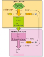 - glycolysis produced 2pyruvate, 2CO2, 2ATP - entering fermentation and produce 2 ethanol  - free NADH to NAD+ so that glycolysis can continue