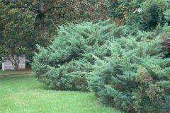 The Pfitzer is 5 to 6 ft. call by 15 to 20 ft. across, and is arching, as is the blue tip Pfitzer. Most junipers are dense, possessing aromatic wood and shreddy bark. Blue gray foliage on Hetz, feathering gray-green to silvery blue foliage on the Pfitzers