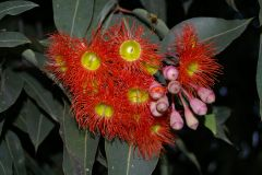 red-flowering gum