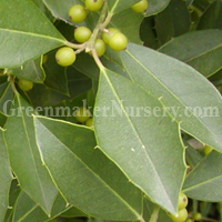 Savannah Holly is an older selection of a cross between Ilex cassine (Dahoon Holly) and Ilex opaca (American Holly). Ilex x attenuata 'Savannah' has whitish bark with light green leaves with very small spines. The females produce berries that are bright r