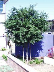 Ulmus parvifolia 'Sempervirens'