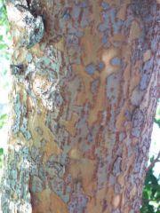 Chinese evergreen elm
