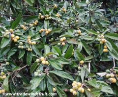 large evergreen shrub or small tree, with a rounded crown, short trunk and woolly new twigs. The tree can grow to 5–10 metres (16–33 ft) tall, but is often smaller, about 3–4 metres (9.8–13 ft). The leaves are alternate, simple, 10–25 cm long, dark green,