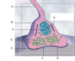Structures of a typical synapse