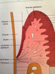 It lines the gingival sulcus to the coronal edge of JE, nonkeratinized, somewhat permeable, contains gingival crevicular fluid, and in health will have a very slight wavy junction