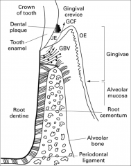 Located at the base of the sulcus, nonkeratinized, no wavy junction (smooth, no rete ridges), joined to tooth by epithelial attachment, has the most rapid turnover rate of all oral epithelial tissues (usually <l one week)