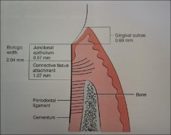 The combined height of the gingival connective tissue (1.07 mm) and the junctional epithelium (0.97 mm) present around teeth