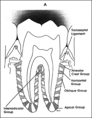 - Apical to above  - Cementum to bone - Most abundant - Absorbs occlusal forces