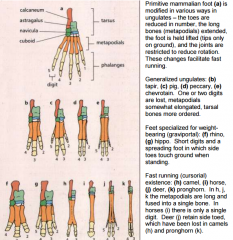 Artiodactyls (even toed) and perissodactyls (odd- toed)    graviportal: specifically for weight bearing. Short digits and a spreading foot in which side toes touch ground when standing eg. hippo, rhino   cursorial: specifically for fast running wh...