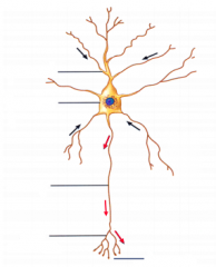 label this neuron. What do the red and black arrows represent?
