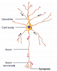 red= action potential black= synaptic potential