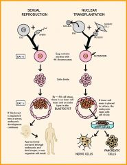150 cells!!!!  If nuclear transplantation has such great potential to cure presently incurable diseases, why is it, and cloning research in general, so controversial? The major societal  concern reflects the possibility that blastocysts produced by nucl