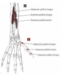 Tommelfingerens lange muskler