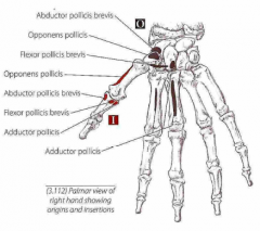 Tommelfingerens korte muskler