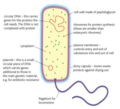 ribosomes dna cell wall capsule flagelum plasmid  chromosomes  cell membrane