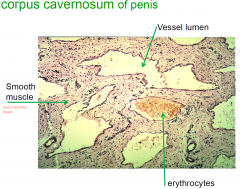• numerous wide, irregular shaped vessels lined with endothelium • surrounded by smooth muscle which forms trabelulae within the tunica albuginea • many nerve endings & lymphatic vessels in the interstitial connective tissue between ves...