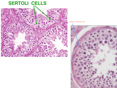 DO NOT DIVIDE  blood-testis barrier & support (physical and nutritional)  Columnar epithelia  Extensive cytoplasmic processes  extends thru complete epithelial thickness (unlike the layers in spermatogenic cells)