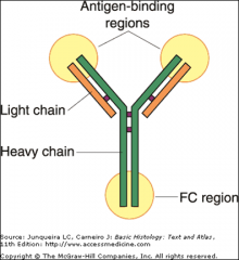 NH2 end of the light and heavy chains bind the antigen.   Fc region  may bind to surface receptors of several cell types.