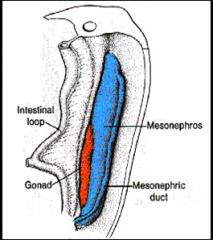 A nephrogenic ridge or cord  A gonadal or genital ridge