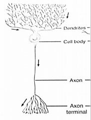 What type of neuron cell is this? Where is it found?