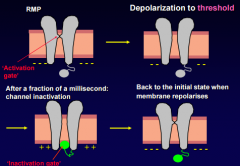 Na channel has two separate gates, an activation gate and inactivation gate. At start, the activation gate is closed and inactivation gate opened, activation gate will open during depolarization. After that, an inactivation gate closes and th...