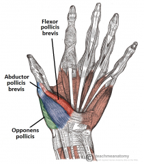 • Opponens pollicis, Abductor pollicis brevis, Flexor pollicis brevis
