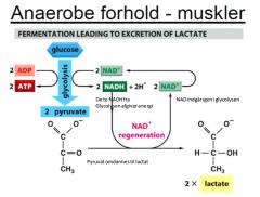 Under anaerobe forhold, f.eks. i musklerne under hårdt arbejde, omdannes pyruvaten i mitochondrierne til lactat under omdannelsen af 2 NADH -> 2 NAD+. Dette er en energigivende reaktion, men med et mindre udbytte end ved fuldstændig oxidation. (Uden O2 er