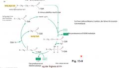 I mitochondrierne omdannes fedtsyren til acetyl-CoA ved cyklus. I hver cyklus fraspaltes 2 C atomer og der dannes et acetyl-CoA + 1 NADH + 1 FADH2 (sidste to er begge elektronbærere eller transportører). Både fedtsyrerne og pyruvaten (fra glykolysen) er n