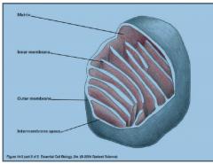 Mitochondriet består af en ydre membran, en indre membran, et intermembranøst rum og matrixen som er den største del og afgrænset af den indre membran. Den indre membran er hvor all the action sker. I den indre membran er elektrontransport kæden og proton