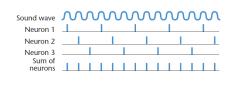 - Lage frequenties = geluidsgolven, 1 axon, 1 actiepotentiaal  - Middelste frequenties = versch. axonen, versch. actiepotentialen, voor versch. golven, dus een volley (groep) van axonen vuurt voor elke golf  - Hoogste frequenties = haarcellen op 1 loc