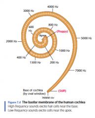 Figuur 7.4   Het basilair membraan van het menselijk cochlea Hoogfrequente geluiden prikkelen haarcellen in de buurt van de basis. Laagfrequente geluiden prikkelen cellen nabij de top.