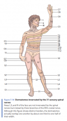 Dermatomes innervated by the 31 sensory spinal nerves  Areas I, II, and III of the face are not innervated by the spinal nerves but instead by three branches of the fi fth cranial nerve. Although this figure shows distinct borders, the dermatomes act
