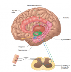 Representation of pain in the human brain A pathway to the thalamus, and from there to the somatosensory cortex, conveys the sensory aspects of pain. A separate pathway to the hypothalamus, amygdala, and other structures produces the emotional aspec