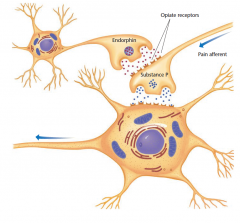 Synapses responsible for pain and its inhibition The pain aff erent neuron releases substance P as its neurotransmitter. Another neuron releases endorphin at presynaptic synapses; the endorphin inhibits the release of substance P and therefore alle