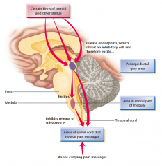 """The periaqueductal gray area, where electrical stimulation relieves pain Periaqueductal means """"around the aqueduct,"""" a passageway of cerebrospinal fl uid between the third and fourth ventricles."""