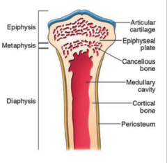 articular cartilage & subchondral bone @ the distal/articular ends of long bones   (contains red bone marrow which produces erythrocytes)