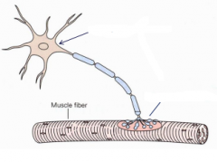 What type of neuron is this? What is the name of the synaptic connection between the neuron axon and the muscle fibre?