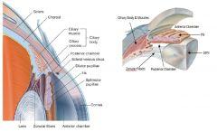 i.Anterior Chamber: נמצא בין ה- Cornea ל- Iris. ii.Posterior Chamber: נמצא בין ה- Iris לעדשה.