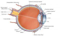 הגבול הקדמי של הרשתית. הרשתית כולה היא בצורת גביע, המכסה את כל המשטח הפנימי של כדור העין. כלומר, הרשתית אינה עיגול שלם, היא פשוט מסתיימת בחלקה הקדמי. השפה של הגביע היא ה- Ora Serrata. בגבול זה של הרשתית אין פוטו- רצפטורים ולכן, אור שייפול בתוך הכדור קדמית