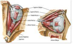 א.  4 שרירים ישרים:  א. Superior Rectus  ב. Inferior Rectus  ג. Medial Rectus  ד. Lateral Rectus   ב. 2 שרירים אלכסוניים: א. Superior Oblique. ב. Inferior Oblique.  Origin: כל השרירים, מלבד Inferior Oblique יוצאים מה- Common Tendinous Ring . בת