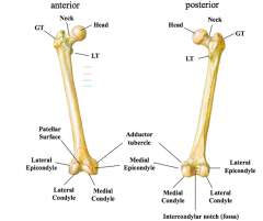 Femur 1.head 2.neck  a.clinical •site for fracture…traumatic or pathological  3.greater trochanter 4.lesser trochanter 5.adductor tubercle 6.medial/lateral condyles 7.medial/lateral epicondyles 8.patellar surface 9.intercondylar fos
