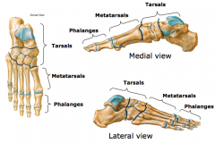 Foot 1.tarsals - calcaneous, talus, cuboid, cuneiforms (3), navicular  2.metatarsals 3.phalanges – 2 for great toe; 3 for other four toes