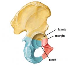 Hip joint A.Femoral head articulates with acetabulum 1.acetabulum – margin, lunate, acetabular notch 2.acetabular labrum 3.head of femur – fovea capitis 4.clinical anatomy a.THR (total hip replacement) b.Childhood conditions •Legg Calve Pe