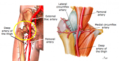 Blood supply of the hip 1.medial and lateral circumflex arteries 2.acetabular branch of obturator artery  3.clinical a.avascular necrosis (AVN)