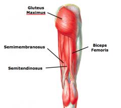hip extension a.gluteus maximus b.biceps femoris (long head) c.medial hamstrings •semimembranosus •semitendinosus