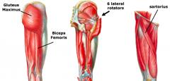 "external rotation of hip a.""six lateral rotators"" or short external rotators •piriformis •superior gemellus •obturator internus •inferior gemellus •quadratus femoris •obturator externus b.gluteus maximus c.biceps femoris d.sartorius"