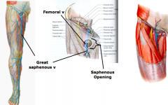 Saphenous Opening  a.allows superficial great saphenous vein to connect to femoral vein along with lymphatic vessels to deep inguinal lymph nodes.