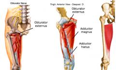 Adductor Magnus P = adductor part: inferior ramus of pubis, ramus of ischium; hamstring part: ischial tuberosity D = adductor part: gluteal tuberosity, linea aspera, medial supracondylar line; Hamstrings part;adductor tubercle of femur N = adductor par